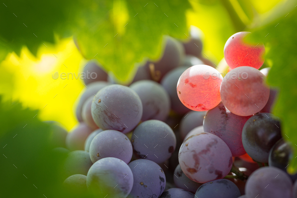 Vineyard with Lush, Ripe Wine Grapes on the Vine Ready for Harvest. - Stock Photo - Images