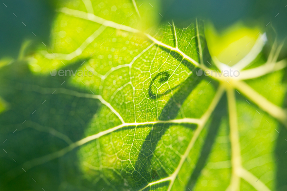 Beautiful Backlit Grape Leaf With Shadow of Vine. - Stock Photo - Images