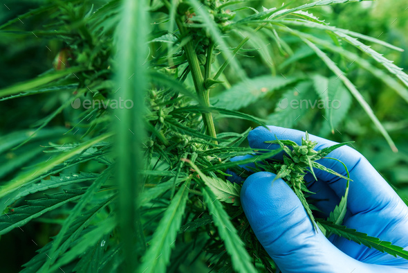 Scientist examining development of Cannabis sativa plant - Stock Photo - Images