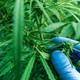 Scientist examining development of Cannabis sativa plant - PhotoDune Item for Sale