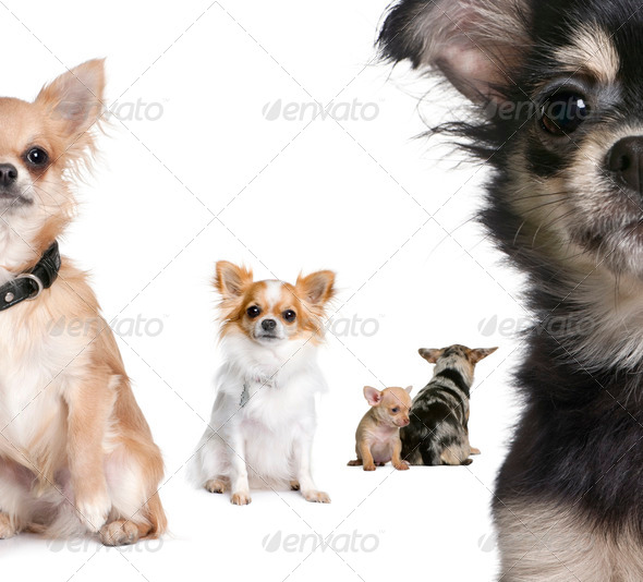 Group of Chihuahua in front of white background - Stock Photo - Images