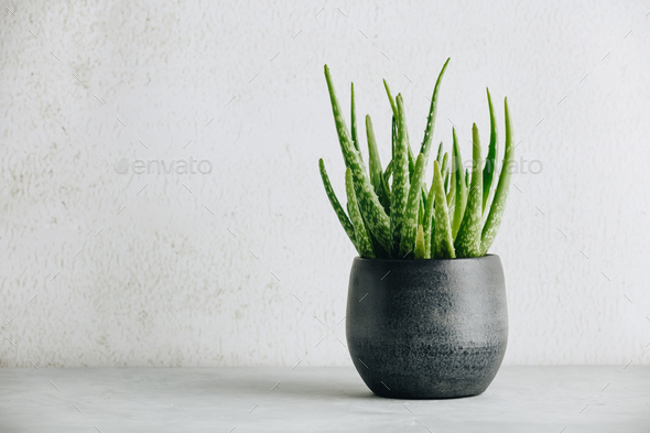 Aloe vera plant in design modern pot and white wall mock up - Stock Photo - Images