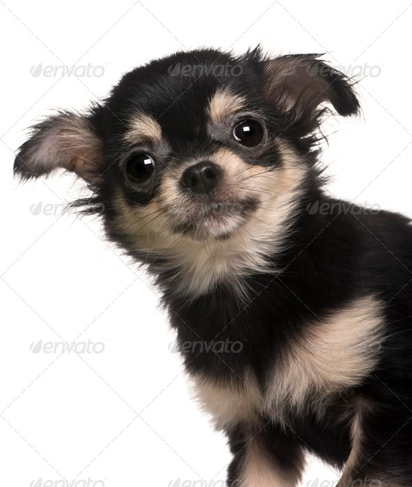 Chihuahua puppy, 4 months old, standing in front of white background - Stock Photo - Images