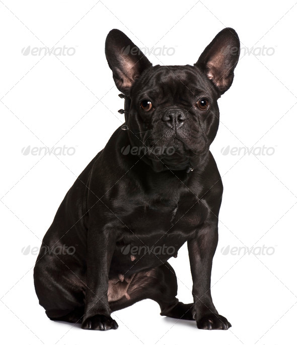 French bulldog, 3 years old, sitting in front of white background - Stock Photo - Images