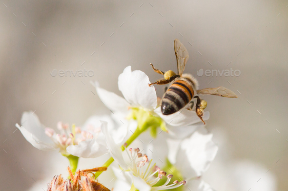 Honeybee Harvesting Pollen From Blossoming Tree Buds. - Stock Photo - Images