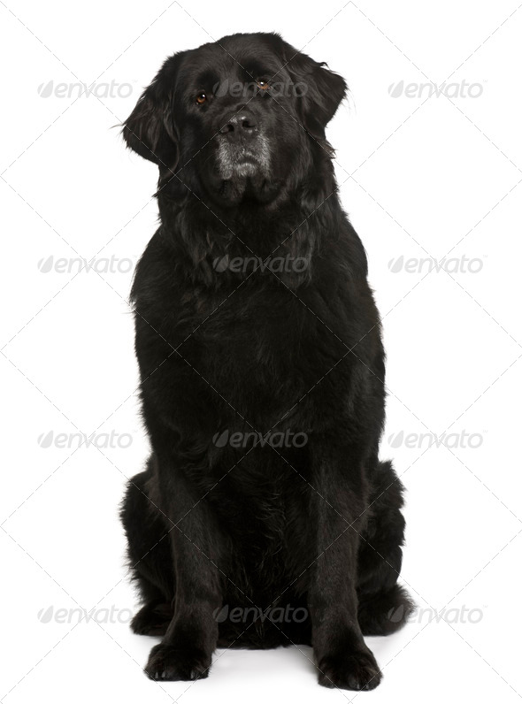 Newfoundland dog, 6 years old, sitting in front of white background - Stock Photo - Images