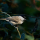 Marsh tit (Poecile palustris) - PhotoDune Item for Sale