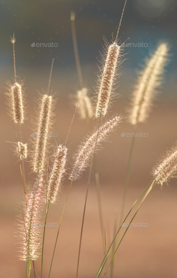 Wilted fountain grass on sunny day - Stock Photo - Images
