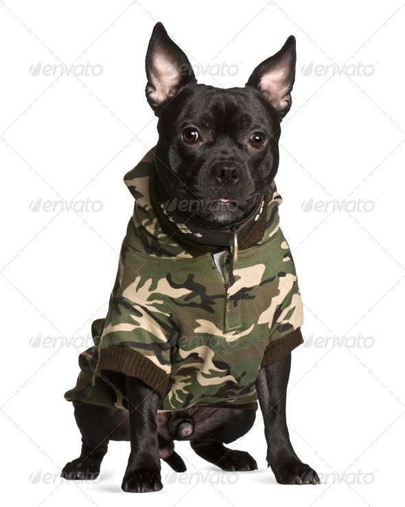 Crossbreed dog in camouflage, 1 year old, sitting in front of white background - Stock Photo - Images