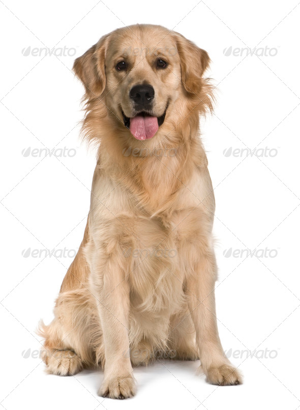 Labrador, 15 months old, sitting in front of white background - Stock Photo - Images