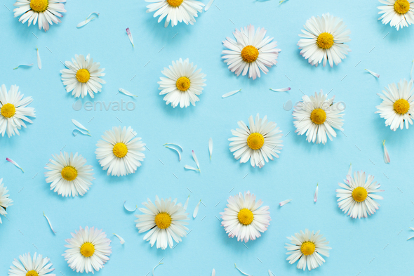 White daisies on a light blue background - Stock Photo - Images