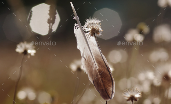 The feather and wilted dandelion among morning light - Stock Photo - Images