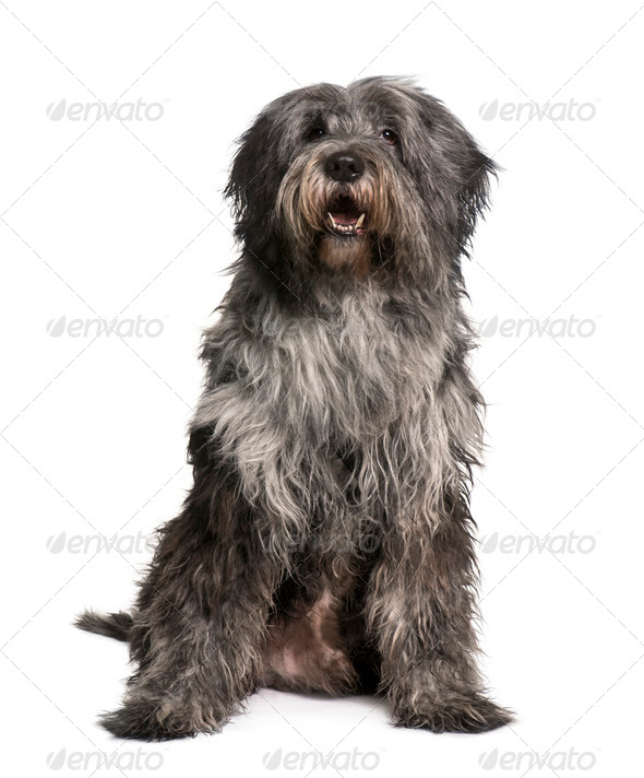 Breader Collie, 10 Months old, sitting in front of white background - Stock Photo - Images