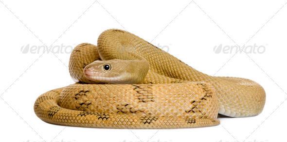 Trans-Pecos rat snake, Bogertophis subocularis, curled up in front of white background - Stock Photo - Images