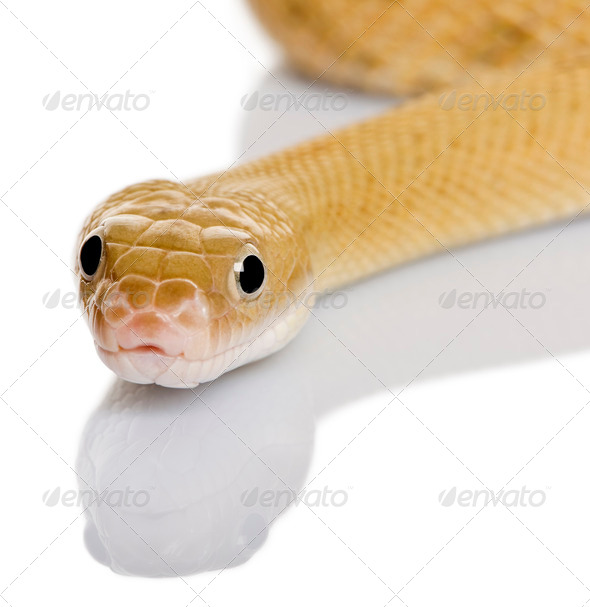 Trans-Pecos rat snake, Bogertophis subocularis, slithering against white background - Stock Photo - Images