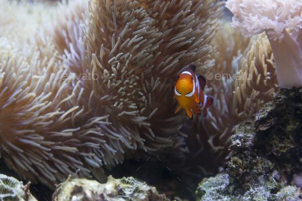 Beautiful Clownfish and Sea Anemone - Stock Photo - Images