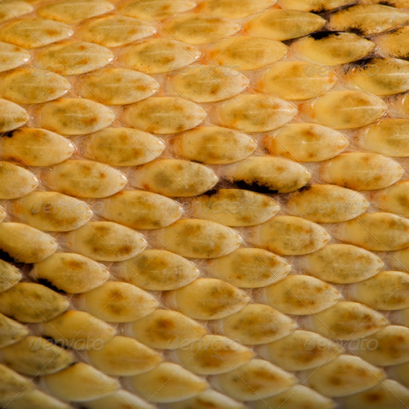 Close-up of Trans-Pecos rat snake scales, Bogertophis subocularis - Stock Photo - Images