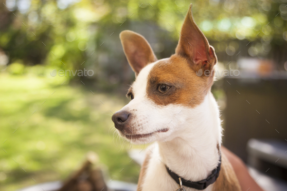 Cute Jack Russell Terrier - Stock Photo - Images