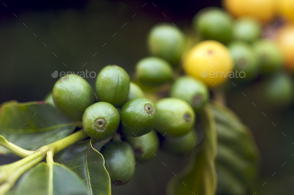 Coffee Beans on the Branch - Stock Photo - Images