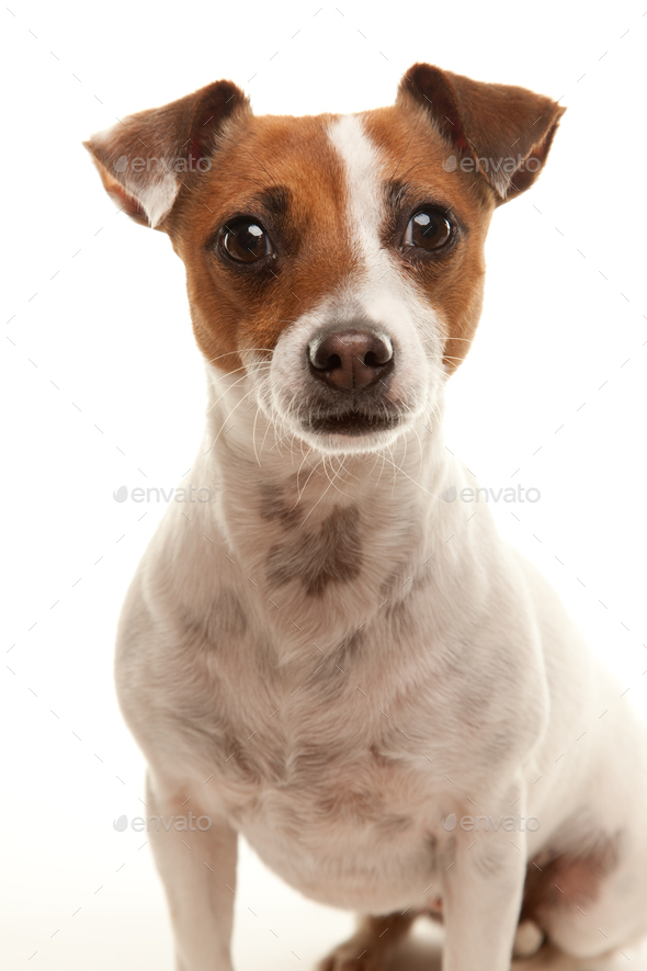 Portait of an Adorable Jack Russell Terrier - Stock Photo - Images