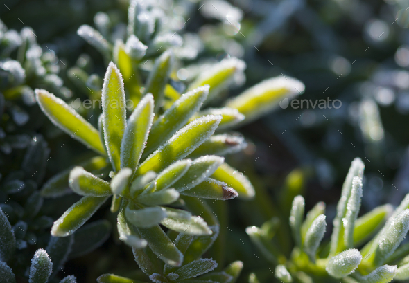 Morning Frost Crystals on Iceplant - Stock Photo - Images