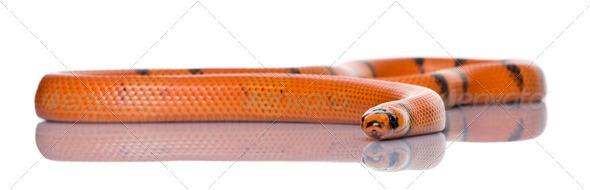 Honduran milk snake, Lampropeltis triangulum hondurensis, slithering in front of white background - Stock Photo - Images