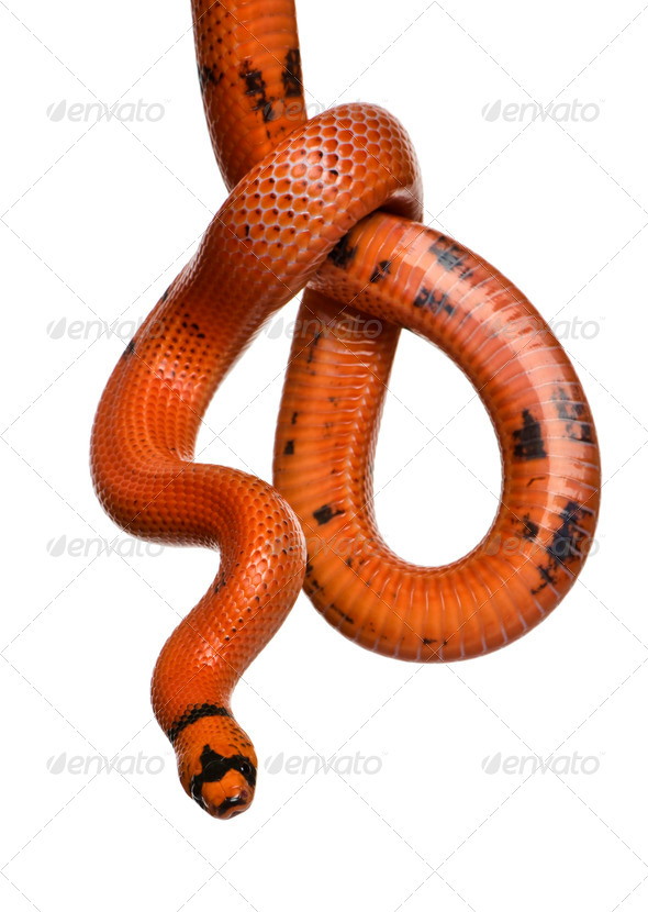 Honduran milk snake, Lampropeltis triangulum hondurensis, hanging in front of white background - Stock Photo - Images
