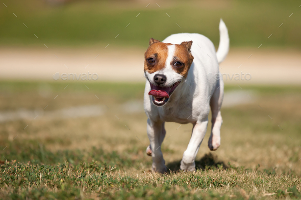 Energetic Jack Russell Terrier Dog Runs on the Grass - Stock Photo - Images