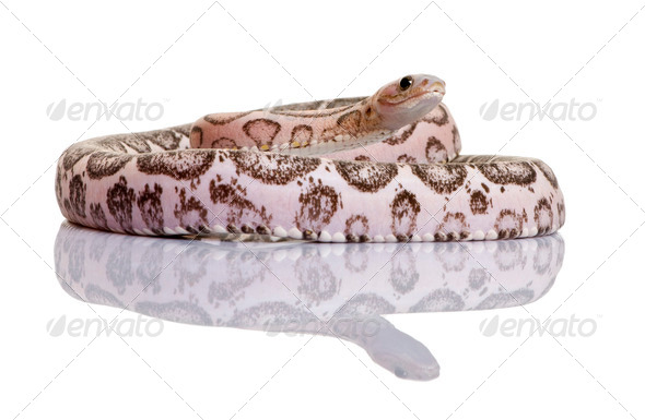 Scaleless corn snake or red rat snake, Pantherophis guttatus, against white background - Stock Photo - Images