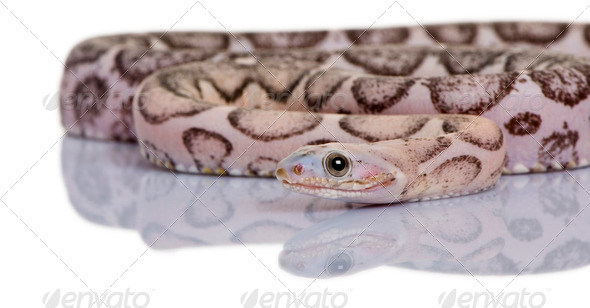 Scaleless corn snake or red rat snake, Pantherophis guttatus, in front of white background - Stock Photo - Images