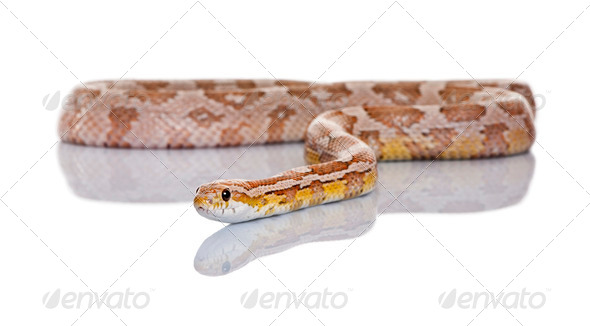 Corn snake or red rat snake, Pantherophis guttatus, slithering against white background - Stock Photo - Images