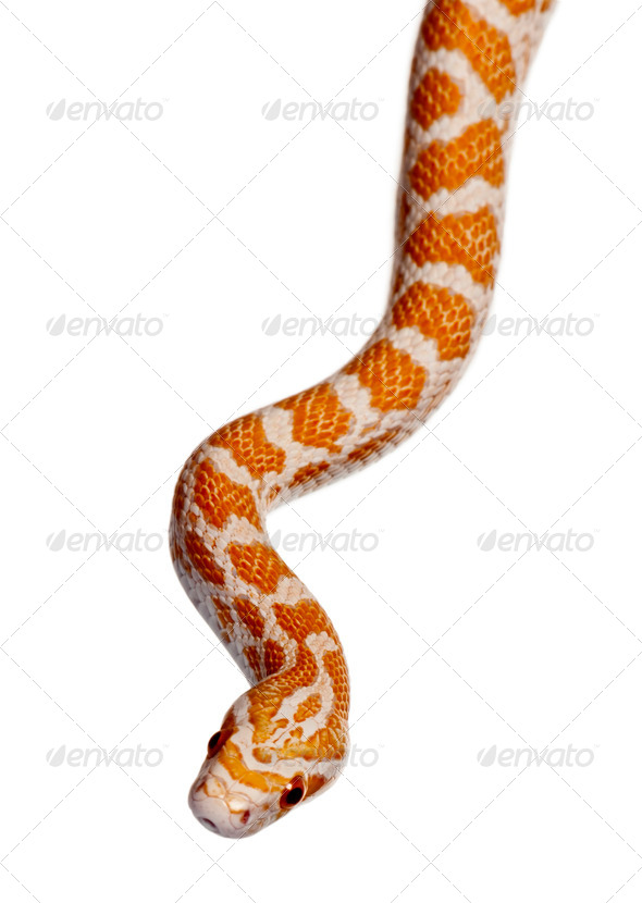 Corn snake or red rat snake, Pantherophis guttattus, slithering against white background - Stock Photo - Images