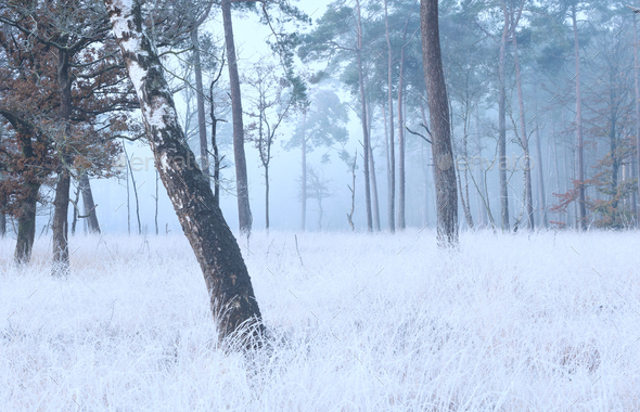 birch tree on frosted meadow in fog - Stock Photo - Images
