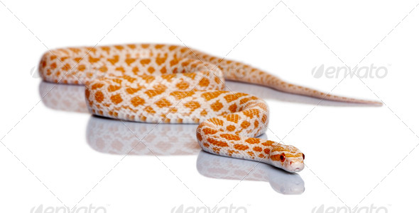 Corn snake, red rat snake, Pantherophis guttattus, in front of white background - Stock Photo - Images