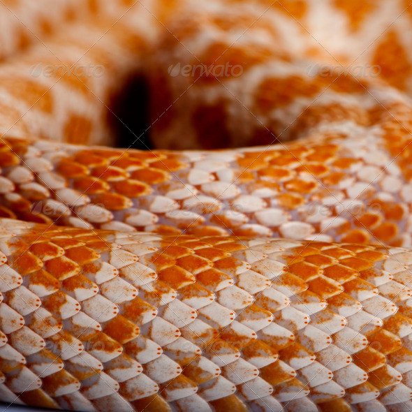Close-up of corn snakeskin or red rat snakeskin, Pantherophis guttattus - Stock Photo - Images