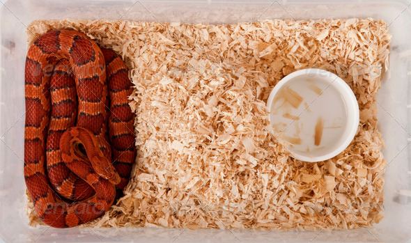 High angle view of corn snake or red rat snake, Pantherophis guttattus, in cage - Stock Photo - Images