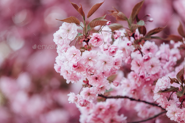 Branches of cherry blossoms. Beautiful Sakura in the garden - Stock Photo - Images