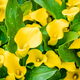 Bouquet of yellow Calla lilies. Zantedeschia - PhotoDune Item for Sale