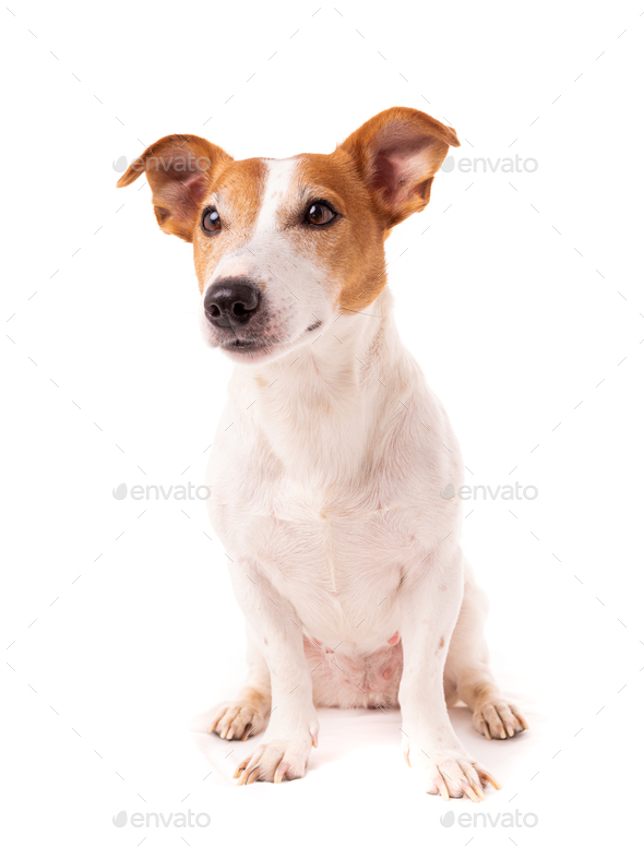 dog jack russell terrier looks up on a white background - Stock Photo - Images