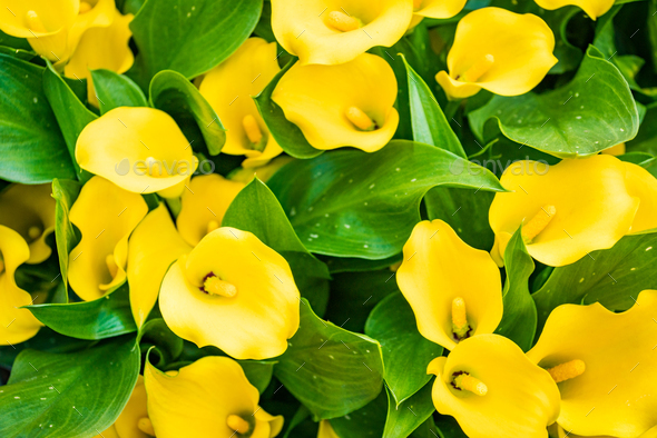 Bouquet of yellow Calla lilies. Zantedeschia - Stock Photo - Images