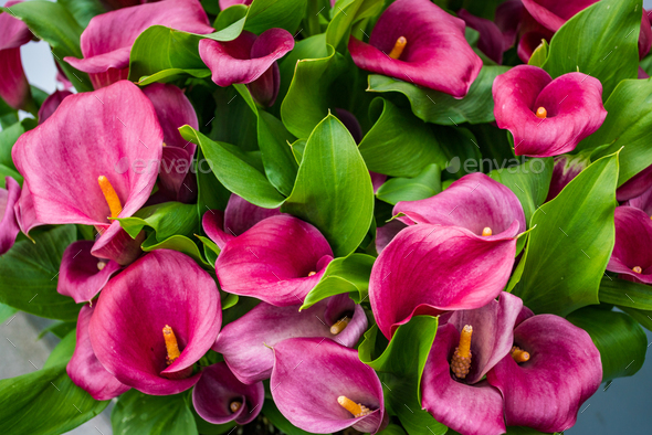 cala lily pink flower background - Stock Photo - Images