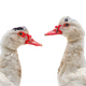 muscovy duck - PhotoDune Item for Sale
