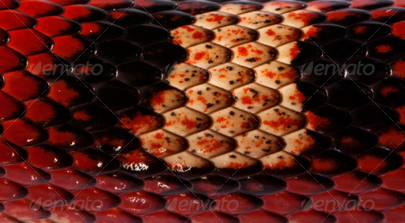 Close-up of Nelson's Milkshake scales, Lampropeltis triangulum nelsoni - Stock Photo - Images