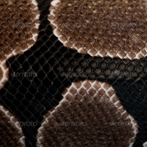Close-up of Python regius snake scales - Stock Photo - Images