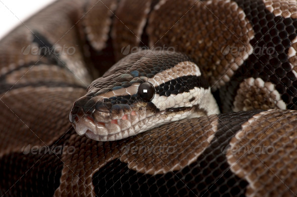 Close-up of Python regius snake - Stock Photo - Images