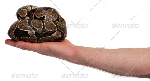 Python regius snake in palm of hand against white background, studio shot - Stock Photo - Images