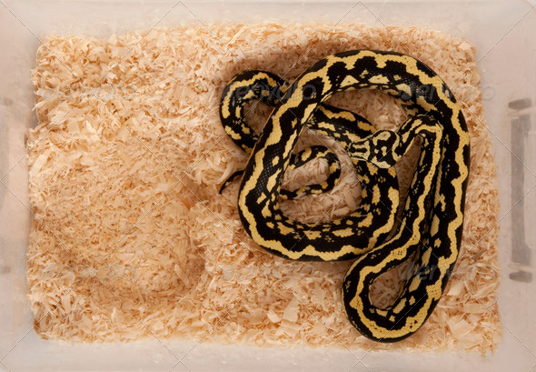 High angle view of Morelia spilota variegata, a subspecies of python, in a cage - Stock Photo - Images