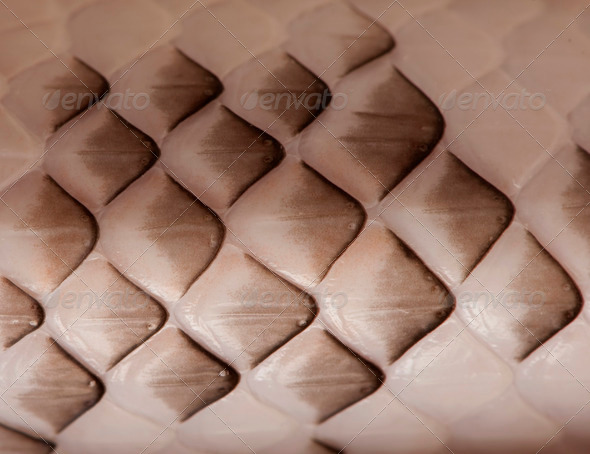 Close-up of Black Rat Snake scales - Stock Photo - Images