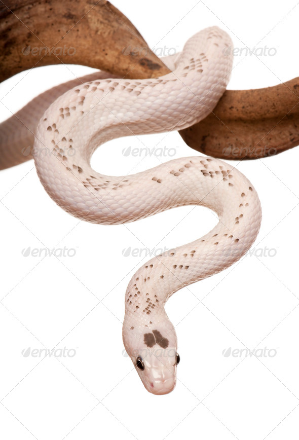 Black Rat Snake hanging from branch against white background, studio shot - Stock Photo - Images