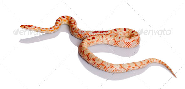 Snake slithering in front of white background, studio shot - Stock Photo - Images